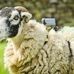 sheepcam sony tour de france
