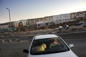 West Bank: After grueling traffic at the Qalandia check point, a young man enjoys a cigarette in his car as traffic finally clears on the last evening of Ramadan. He is bringing home a sheep for the upcoming Eid celebration. 2013